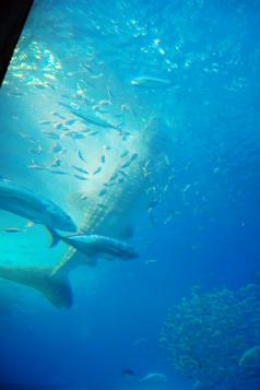 ジンベイザメのごはんタイム。縦になって、掃除機のように吸っています。大きな口には一度に100Lもの海水が入るそうです。周りの魚も間違えて食べてそう。