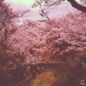 ここにしか咲かないコヒガンザクラなのです。