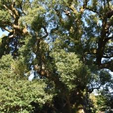 ご神木の上に梟が見えるといいことあるんだって。