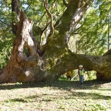 子どもは簡単にくぐれたりする大きな木。