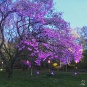 ライトアップされると葉桜でも綺麗でした。