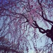 枝垂桜が綺麗でした。